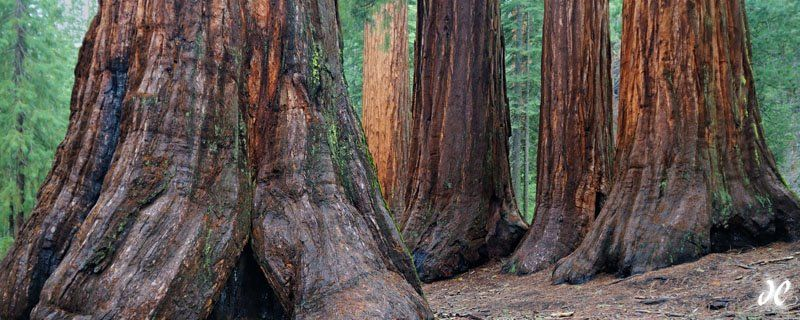 Bachelor and the Three Graces  Taken in the Mariposa Grove of Giant Sequoias, Yosemite National Park on May 4th, 2009 joshua cripps photographer