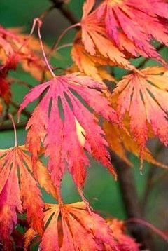 Acer Palmatum Omurayama 3 Year Graft Acer Japonesas
