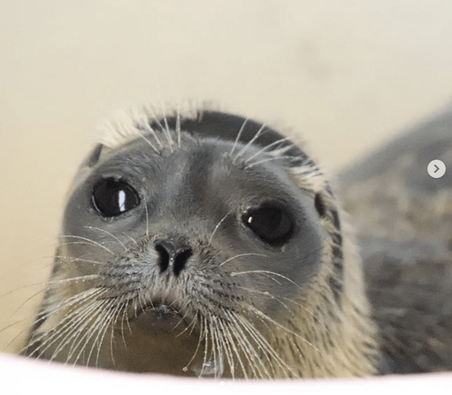 Seal Rescue Charity In Ireland Posts Photos Of The Cutest Sea Chonks In 2020 Cute Seals Seal Pup Ireland Culture