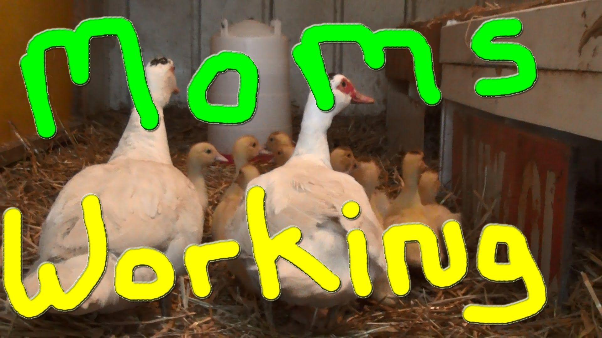 Biggest Batch Of Ducklings Yet 70 Hatching Duck Goose Eggs Ducklings Duck Dog Life