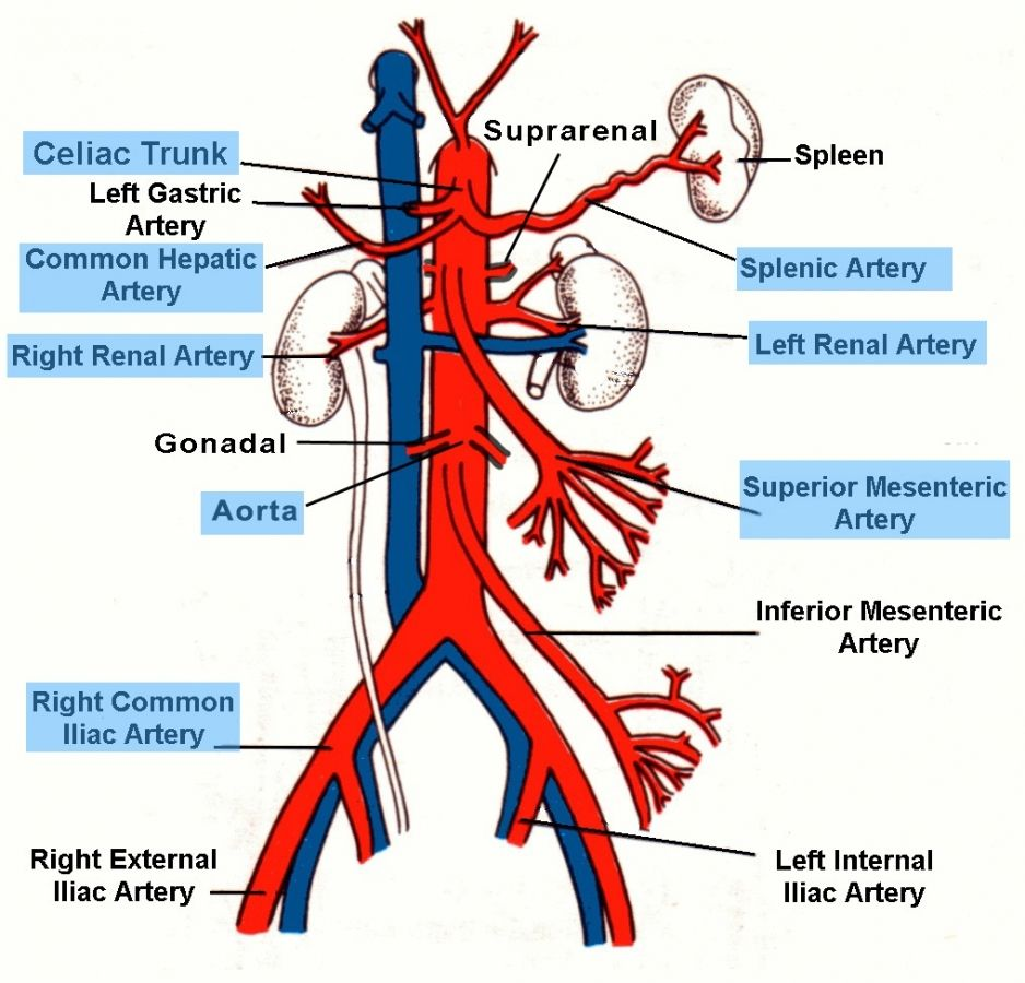 distal aortic branches anatomy | physical therapy: we are the, Human Body