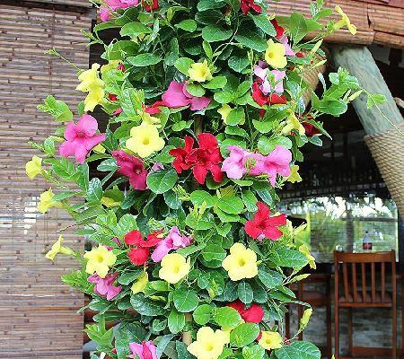 Cottage Farms Tricolor Trumpet Vine Qvc Com Trumpet Vine Plants Plant Images