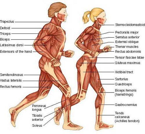 Male And Female Anatomy The Human Skeleton Pinterest Anatomy