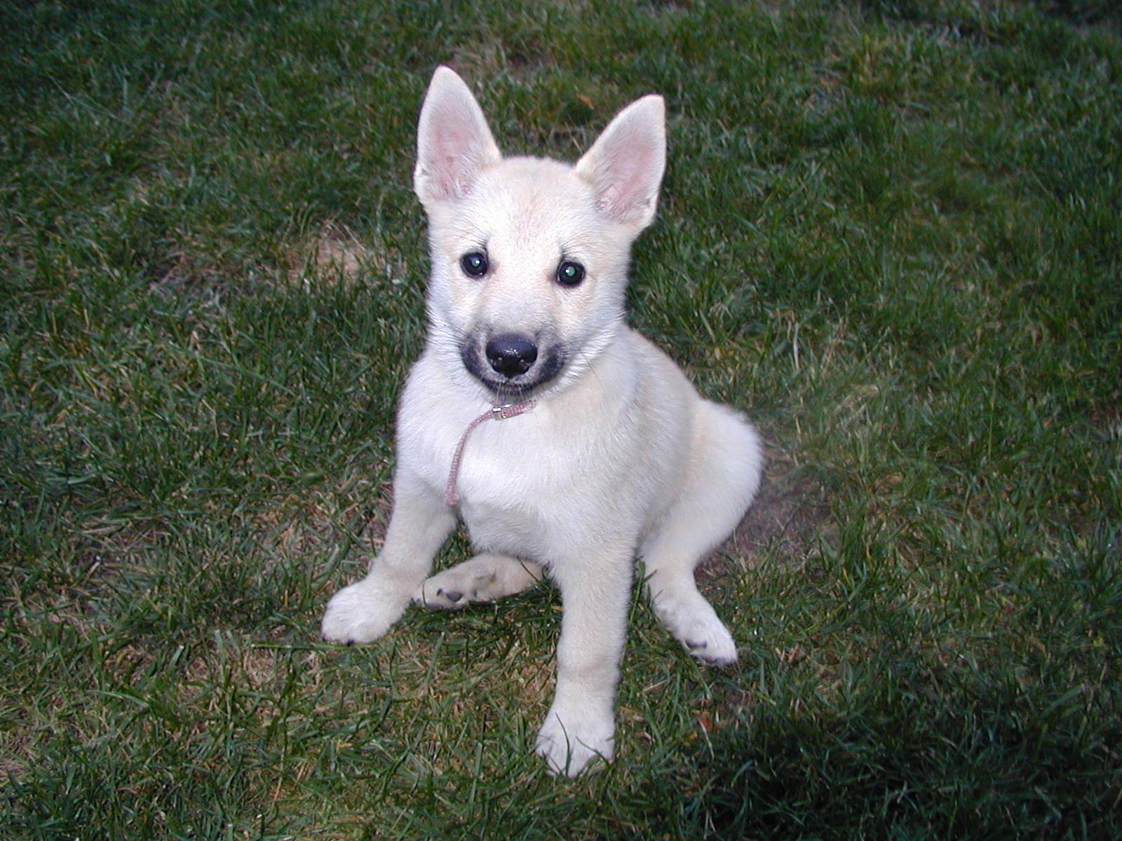 Ds 232 Norwegian Buhund Puppy My Dog Show Pinterest