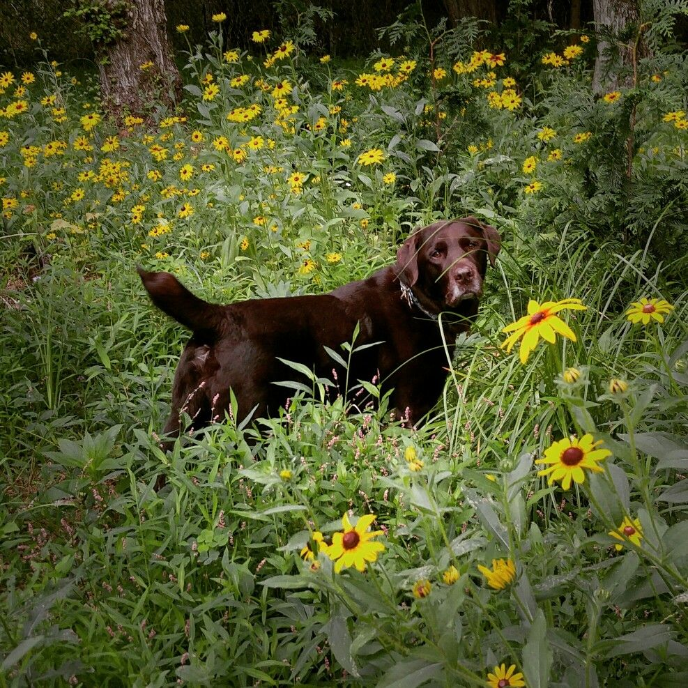 Flowers Chuckie The Chocolate Lab Teamchuckie Chocolate Lab Animals And Pets Cute Puppies