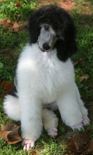 9 Week Old Standard Parti Poodle Puppy With Images Poodle