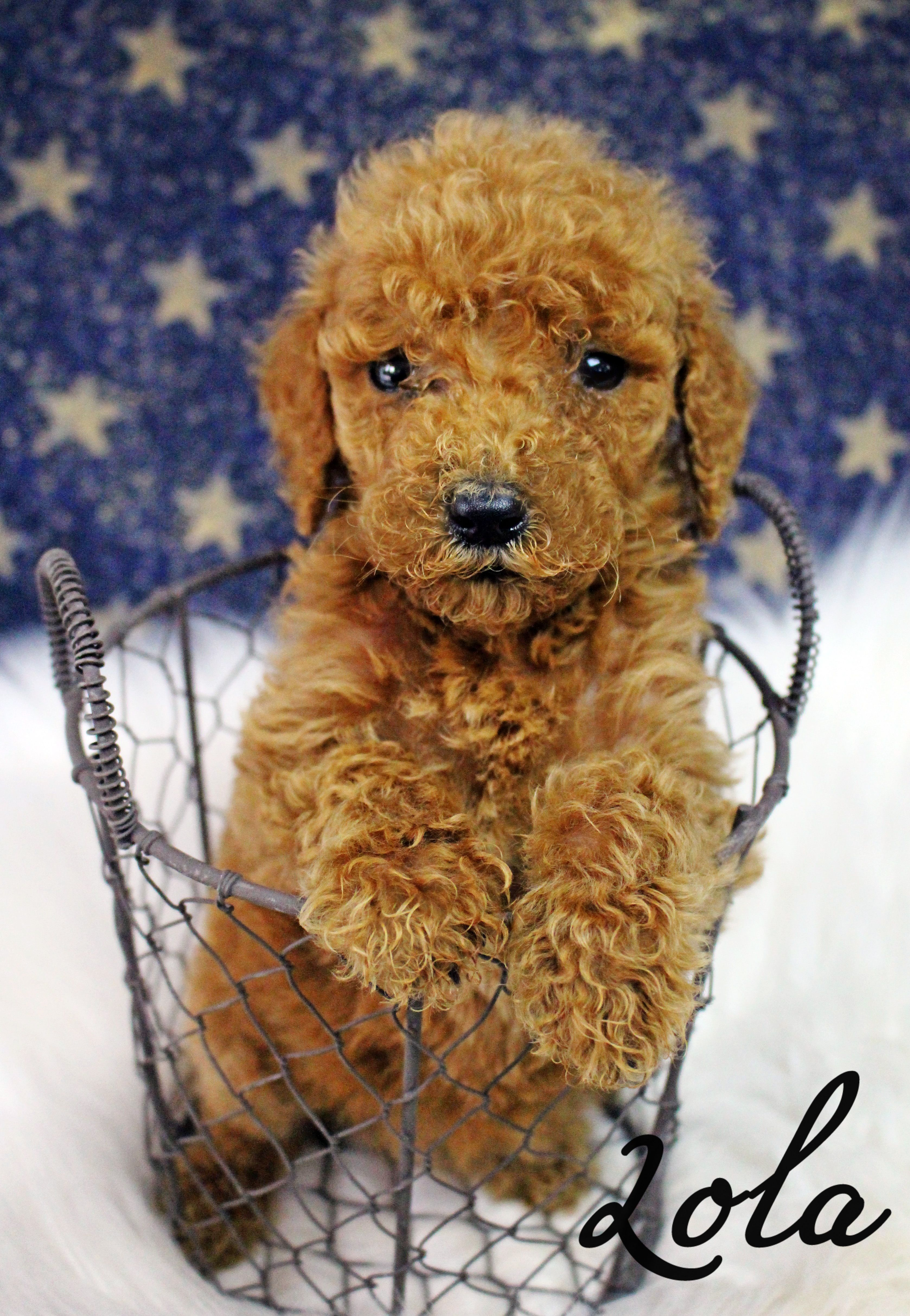 Small Akc Standard Poodle Puppy Red Apricot Fluffy Puppy Pet