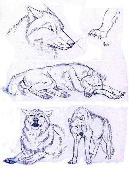 Resultado de imagen de anatomia lobo | Dibujos simples, bases, etc ...
