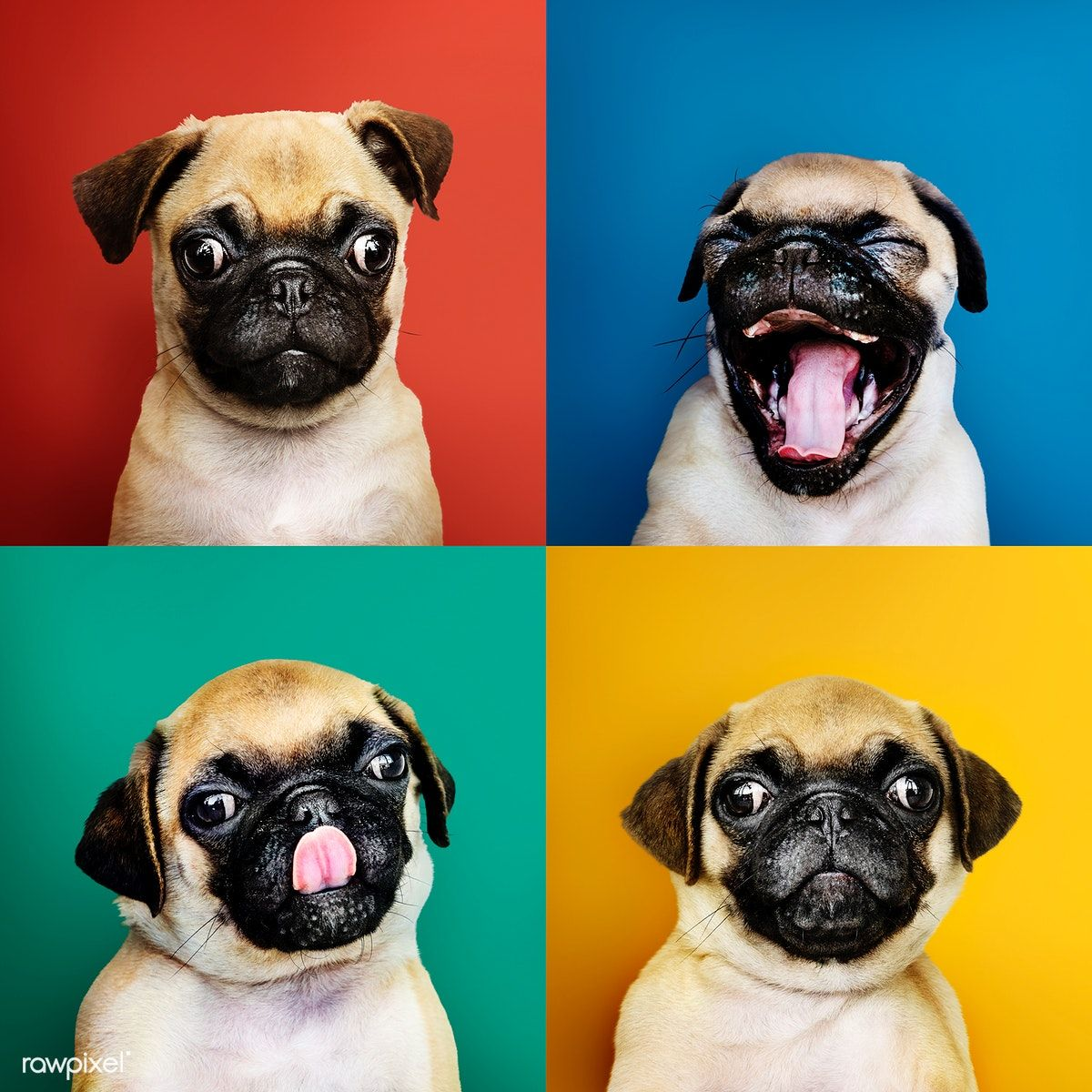 Download Premium Photo Of Portrait Set Of An Adorable Pug Puppy