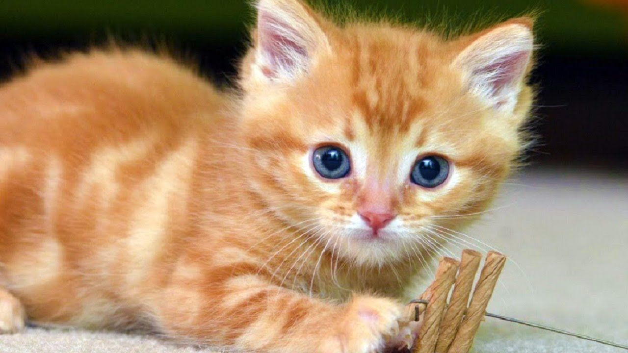 Cats Meowing Cute Kittens Meowing Cat Meowing Video