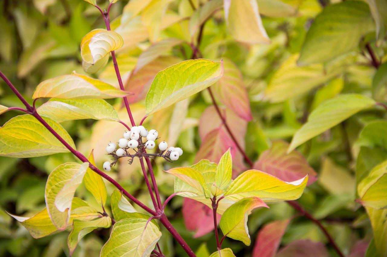 Fantastic Fall Colors   Spring flowering trees, Prairie fire, Deer resistant perennials