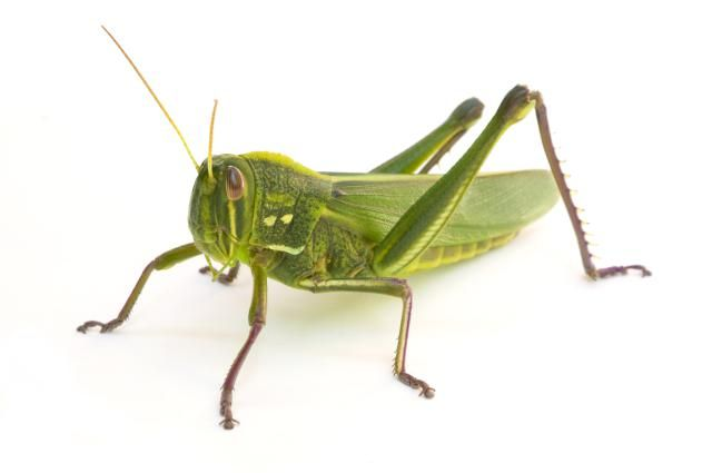 How Insects Sing Their Summer Songs Insects Grasshopper Cricket Insect