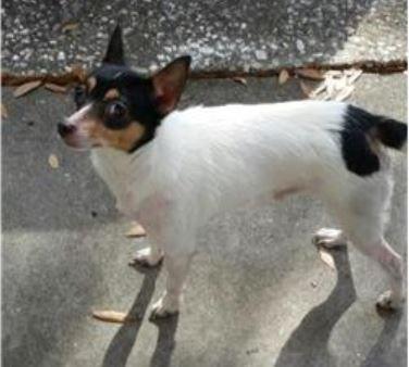 Found Dog Chihuahua Tampa Fl United States Dogs Chihuahua