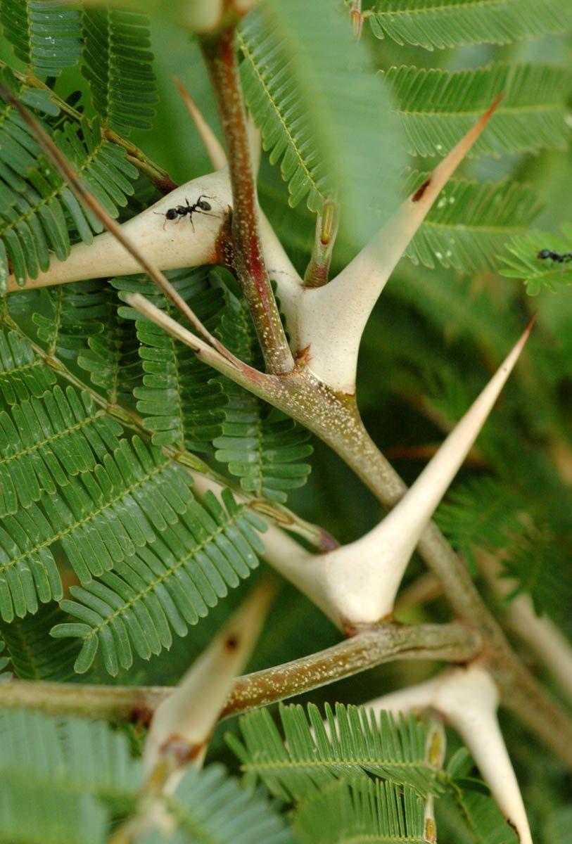 The Bullhorn Acacia Acacia Cornigera Has A Symbiotic Relationship