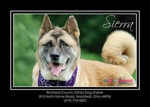 Adopt Sierra Rescue Only Urgent On Akita Dog Dog Adoption Dogs