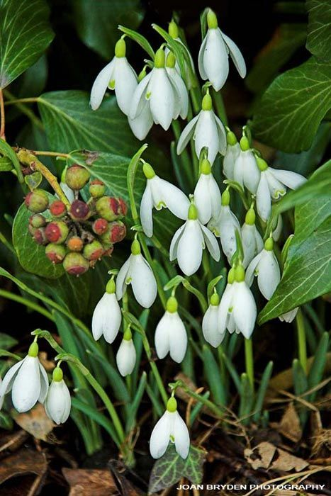 Snowdrops Spring Flowers Flower Structure Beautiful Flowers