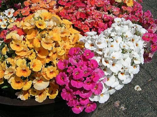 Nemezja Nemesia Strumosa Jednoroczne I Dwuletnie Balcony Plants Perfect Plants Flowers