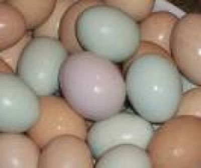 cockatoo eggs | ... Umbrella cockatoo eggs Black palm ...