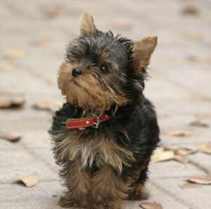 Teacup Yorkie The Pocket Sized Yorkshire Terrier Yorkie Terrier Miniature Yorkshire Terrier Yorkshire Terrier Dog
