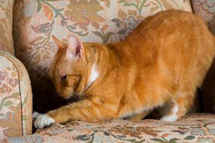 Cat From Scratching Furniture