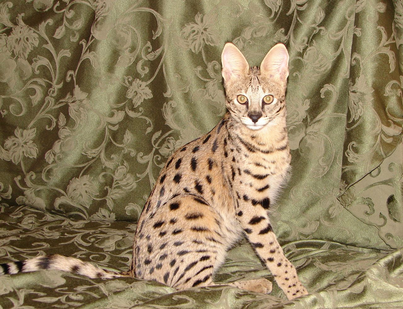 Pin On Savannah Cat