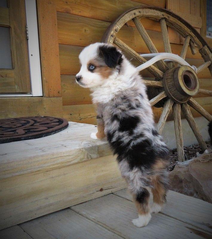 Past Puppies Castle Valley Cowboy Company Home Of Utah Mini Aussies Miniature Australian Shepherd Puppies Mini Aussie For Sale