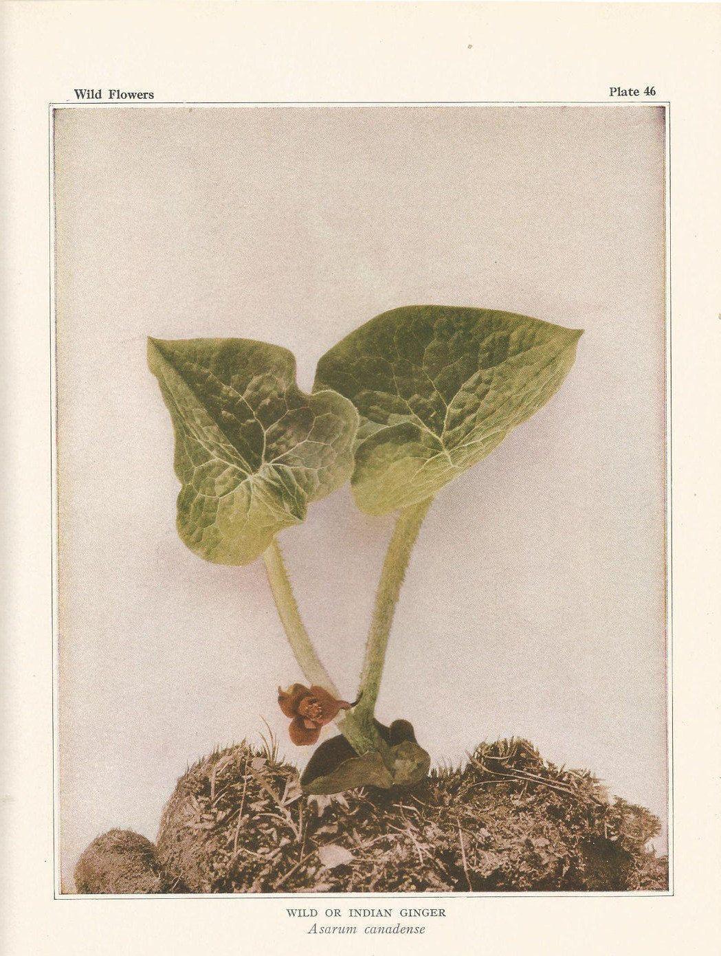 Indian Ginger Antique Botanical Wildflower Art Print For Chef Herbalist Gardener Naturalist Vintage Na Vintage Flower Prints Botanical Poster Nature Prints