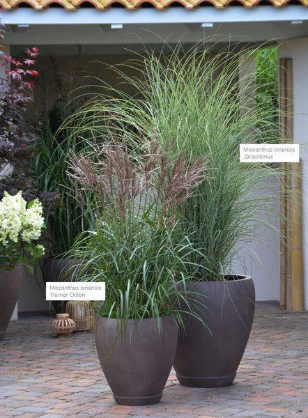 Miscanthus Sinensis Jpg Garten Vorgarten Pflanzen