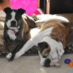 Adopt Bellaandlucy On Victorian Bulldog Terrier Mix Dogs
