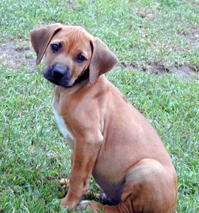 Rhodeshian Ridgeback Mix Puppies Rhodesian Ridgeback Rhodesian Ridgeback Puppies Rhodesian Ridgeback Dog