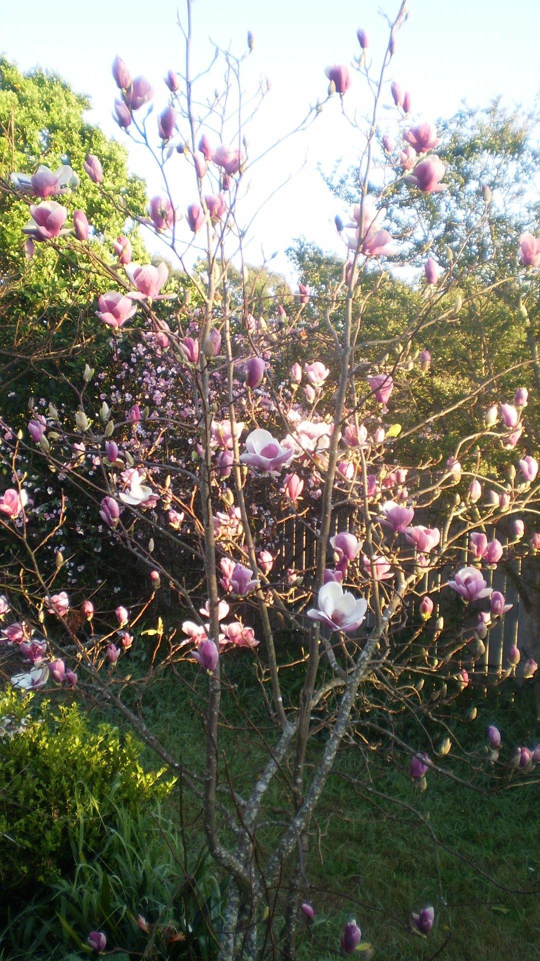 Magnolia foreground. Chaenomeles Apple Blossom background