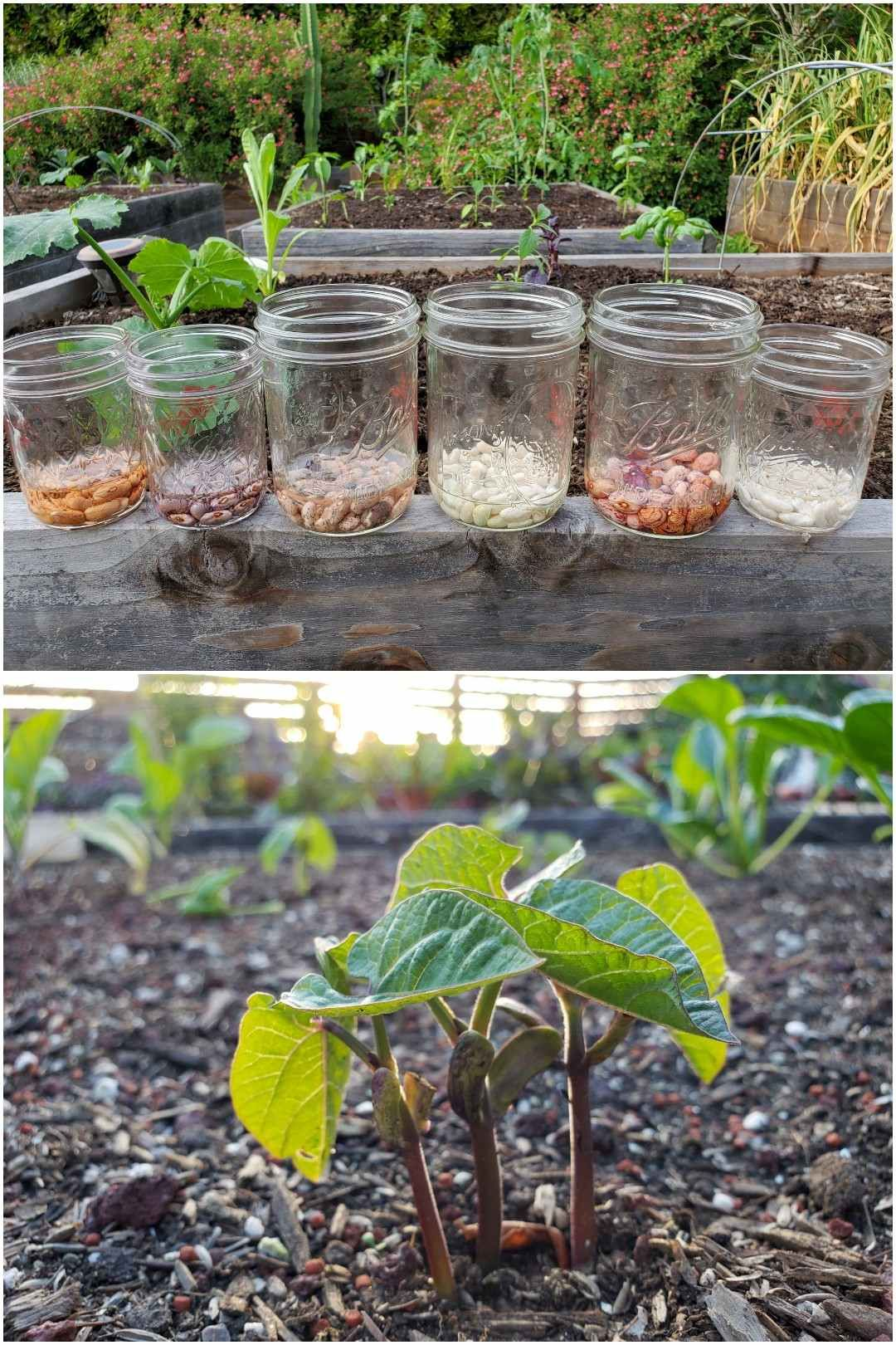 How To Grow Bushels Of Beans From Seed Bush Beans Pole Beans Homestead And Chill Pole Beans Bush Beans Growing Beans