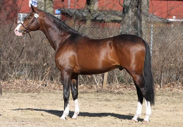 Anglo-Arabian stallion Fango in Blue