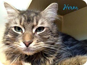 Philadelphia, PA - Domestic Mediumhair. Meet Herm, a cat for adoption. http://www.adoptapet.com/pet/15119894-philadelphia-pennsylvania-cat
