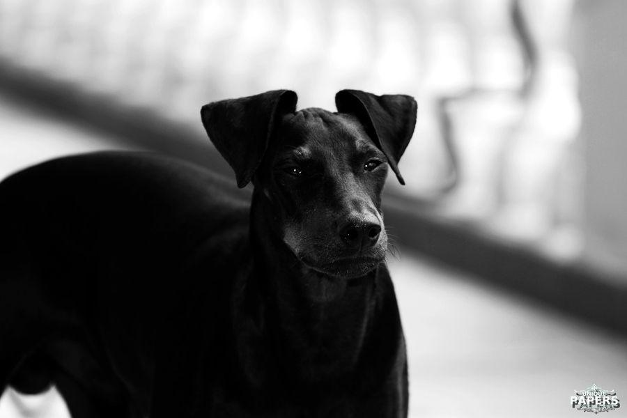 Manchester Terrier Terrier