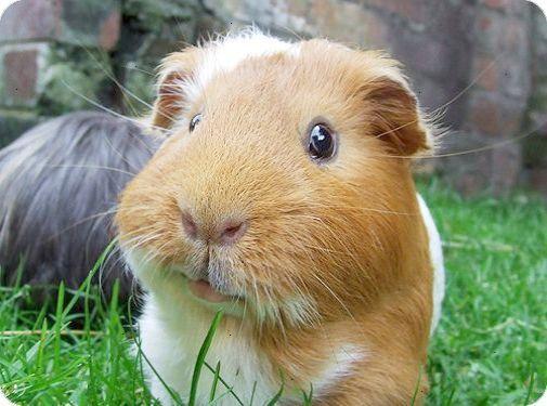 Guinea Pig Adorableness Meerschweinchen Niedliche