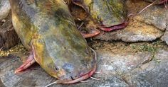 Photo of Clonking Cats: How to Call In Catfish | Outdoor Life