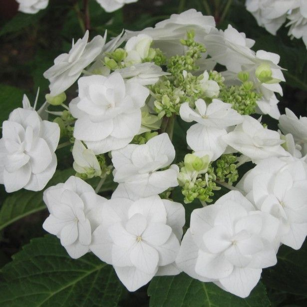 Hydrangea Macrophylla Wedding Gown: Hortensia - Hydrangea Macrophylla Wedding Gown