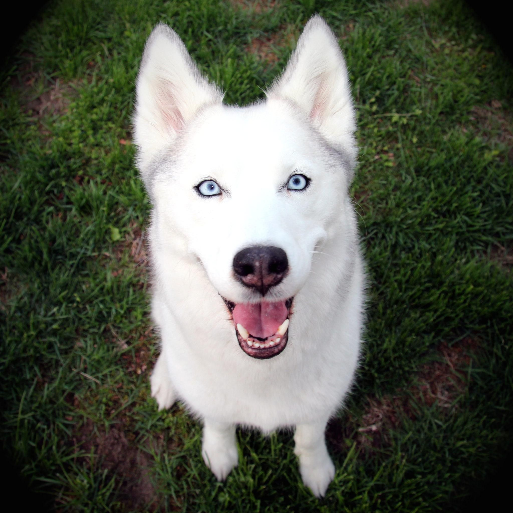 Husky Mix Breed Dogs Dogs Puppies With Blue Eyes White Husky
