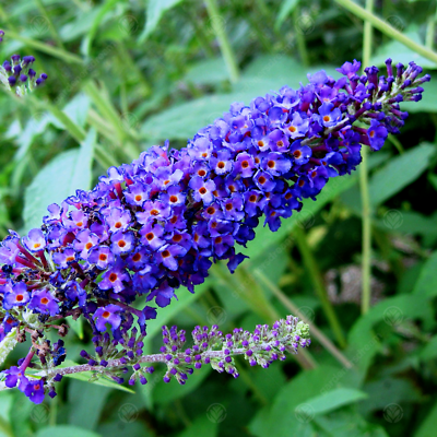 Buddleia Davidii Empire Blue Butterfly Bush Scented Garden Shrub 9cm Pot 5051641527161 Ebay In 2020 Scent Garden Buddleja Davidii Butterfly Bush