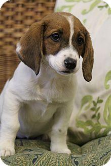 Bedminster Nj Basset Hound Beagle Mix Meet Tiffer A Puppy For