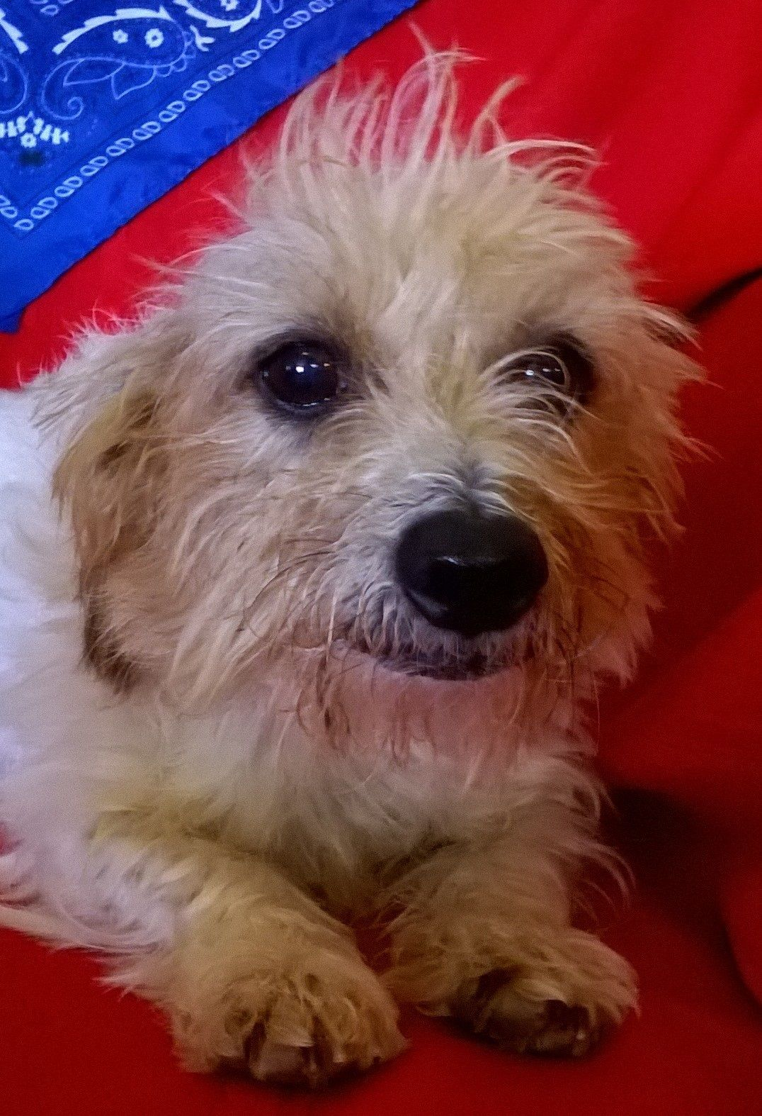 Lovely Wirehaired Terrier Mix Info Pictures Inspiration ...