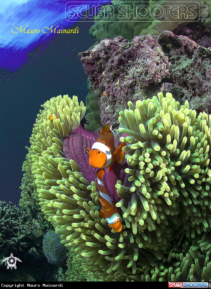 Clownfish and anemone in Bunaken national Marine Park - Indonesia