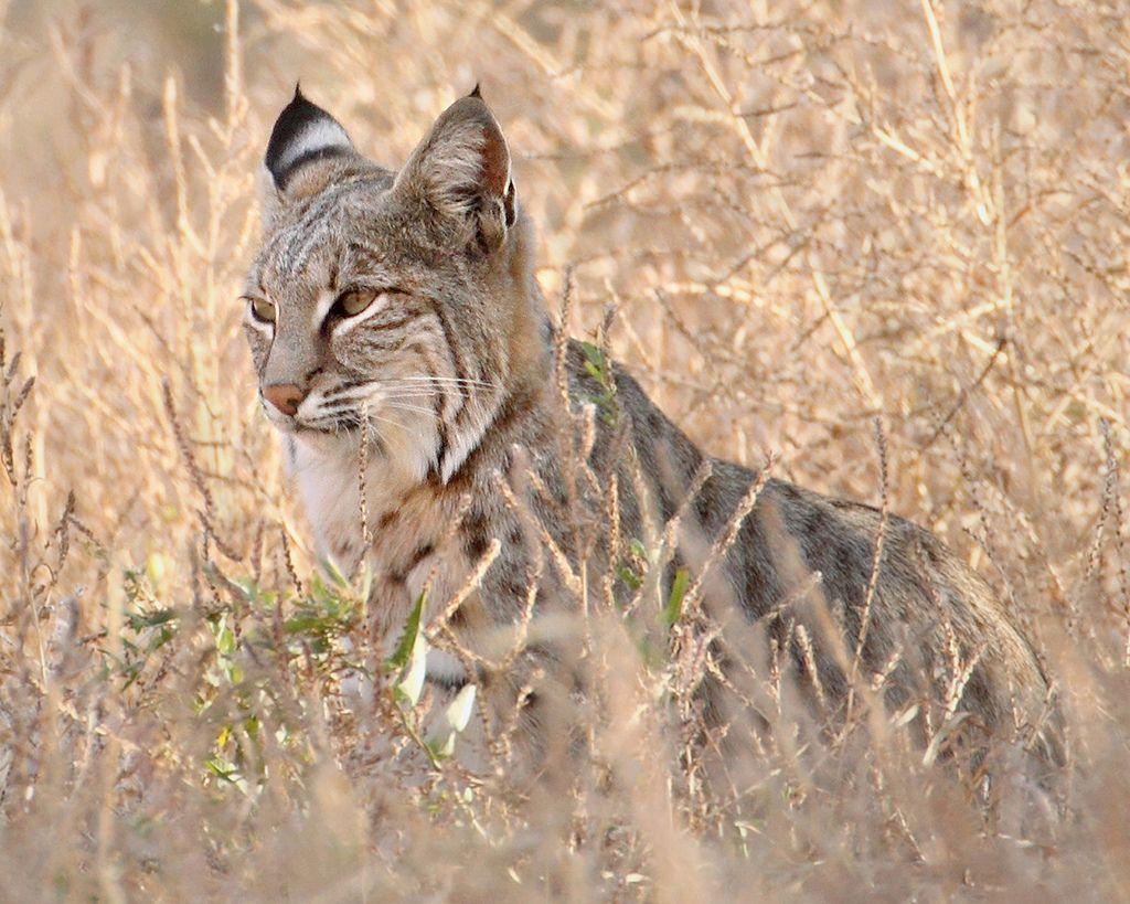 Le Lynx Roux Ou Chat Tigre Bobcat Https Www 2tout2rien Fr Le Lynx Roux Ou Chat Tigre Bobcat Chat Tigre Lynx Roux Lynx
