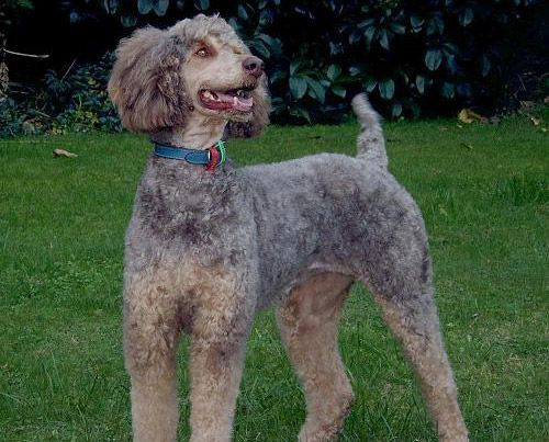 Phantom Adult Standard Marked The Same As A Doberman But Can Be