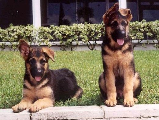 German Shepherd Puppies Floppy Ears German Shepherd Puppies