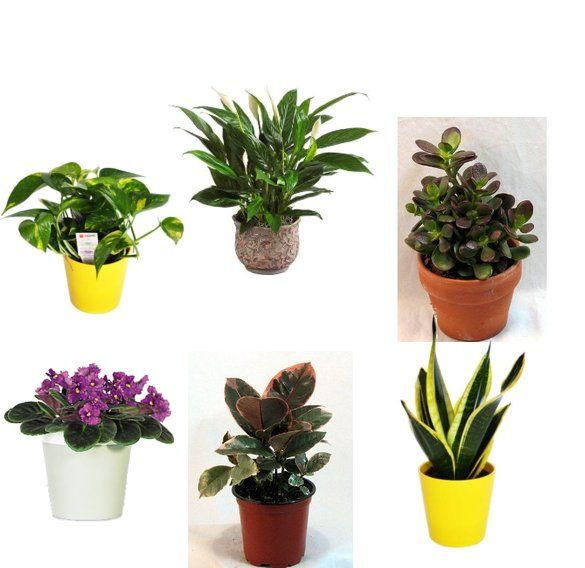 Best Plants For The Office Jade Plant And Mother In Laws Tongue