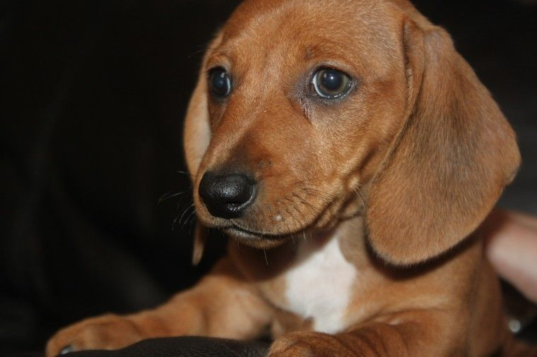 Cute Mini Dachshund Puppies For Sale Dachshund Puppies For Sale