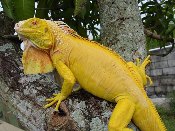 Types Of Iguanas Getting To Know Them Iguana Iguana Pet Reptiles Pet