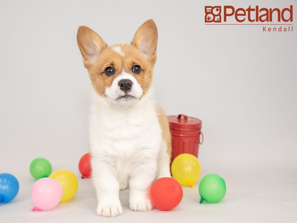 Petland Florida Has Pembroke Welsh Corgi Puppies For Sale Interested In Finding Out More About This Breed Check Out Our Available Pu Corgi Pembroke Welsh Corgi Corgi Puppies For Sale